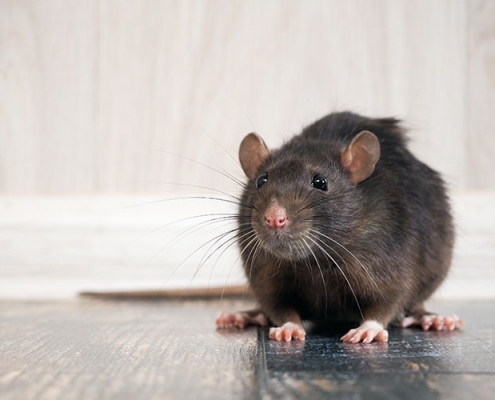 Rat Inside House on Floor