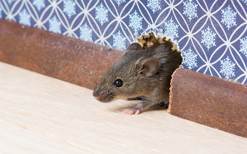 Rodent Entering House Through Entry Point in Wall