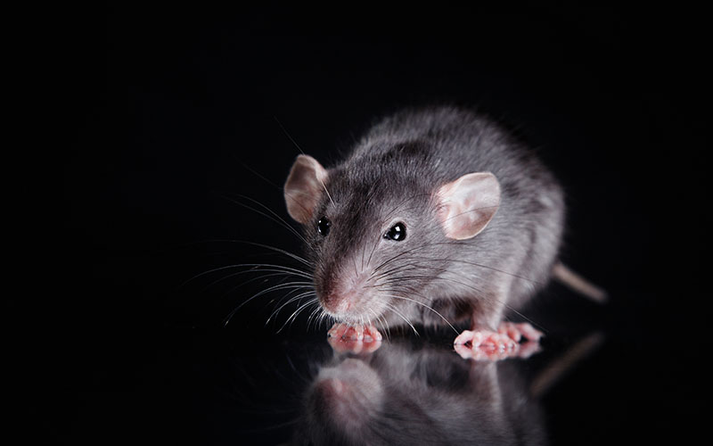 Rodent on Black Background