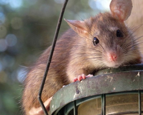 image of roof rat