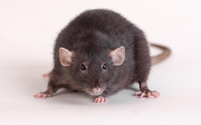 image of black rat