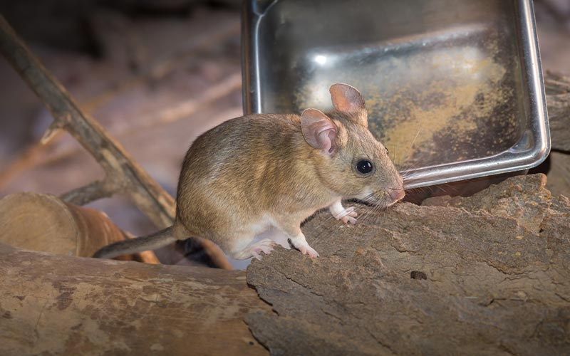 image of pack rat