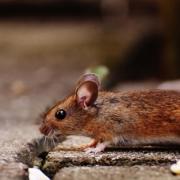 image of arizona mice